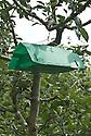 Codling moth trap in apple tree, mid June.