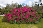 Pictured: Gardener Eloise Mercer with the UK's largest rhododendron bush at South Lodge Hotel in Horsham, West Sussex.<br /> <br /> England's biggest rhododendron has bloomed just in time for the end of lockdown and is looking bigger and better than ever.   The magnificent bush has grown since last year and is now so large a double decker bus could fit inside it.<br /> <br /> Ordinarily it would attract enthusiasts from around the world. But due to the covid pandemic the hotel whose grounds it sits in are shut.  But that all changes next Monday with the planned reopening of the spa and the rhododendron - dubbed 'shrubzilla' in the past - is putting on its annual display just in time.  SEE OUR COPY FOR DETAILS<br /> <br /> © Jordan Pettitt/Solent News & Photo Agency<br /> UK +44 (0) 2380 458800