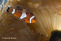 0321-1125  False Percula Clownfish (Ocellaris Clownfish), Amphiprion ocellaris, with Bulb-tipped Anemone, Entacmaea quadricolor  © David Kuhn/Dwight Kuhn Photography