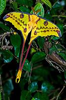 Comet Moth (Argema mittrei), rainforest of Andasibe, East Coast, Madagascar, Africa