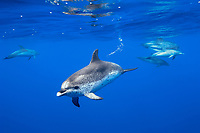 Spotted dolphin (stenella frontalis) Spotted dolphin underwater. Azores.