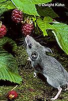 MU50-001z  Deer Mouse - 6 week old eating raspberries - Peromyscus maniculatus