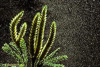 LY05-002f  Club Moss - strobuli releasing spores, tree clubmoss, running pine, ground pine - Lycopodium obscurum