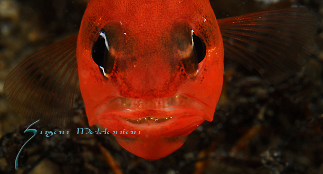 Two Spot Cardinalfish w Eggs, Apogon pseudomaculatus,Blue Heron Bridge; Lake Worth Inlet; Florida; USA; Amazing Underwater Photography; Marine behavior