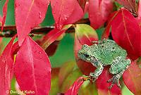 FR10-052b  Gray Tree Frog -  Hyla versicolor