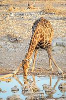 Giraffe (Giraffa camelopardalis), adult male drinking, Etosha National Park, Namibia, Africa
