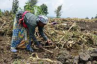 RWANDA, Ruhengeri, Virunga, small scale farming, women work with hoe on her volcanic stony farmland, small land patches make a income hard / RUANDA, Ruhengeri, Virunga Berg- und Vulkanlandschaft, kleinparzellige Landwirtschaft mit Vulkangestein, Aussaat von Bohnen