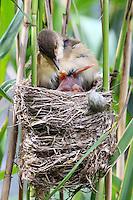 Kuckuck, frisch geschlüpftes Küken im Nest eines Teichrohrsänger, wirft die Eier des Rohrsänger über den Nestrand raus, Brutparasitismus, Cuculus canorus, Cucullus canorus, cuckoo