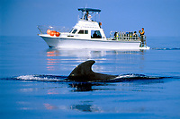 whale watching boat and short-finned pilot whale, Globicephala macrorhynchus, Hawaii, Pacific Ocean