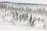 Strong winds blow snow across the spruce tree covered tundra, Arctic, Alaska.