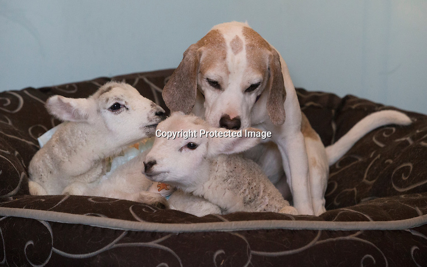 """21/04/15<br /> <br /> Draughtsman licks the young lambs.<br /> <br /> Two 'sheep dogs' are helping to pamper three orphaned lambs who think the dogs are their mum.<br /> <br /> The three orphaned  lambs, who wear nappies so they can have the run-of-the-house, like to snuggle up to the dogs and share their bed with them in the kitchen by the stove.<br /> <br /> Piper, an 11-year-old rhodesian ridgeback-cross and Draughtsman, an eight-year-old ex-hunting beagle, take turns looking after the week-old lambs who often try to suckle from their doting canine 'parents'.<br /> <br /> Melissa Ebbatson, 21, said: """"These three were quite poorly, so we brought them inside so we could look after them better and give them a bit more warmth. We put them in nappies so they don't make a mess in the house.  One of the dogs was having a snooze on his bed and the lambs just jumped in and joined him. And they've all become inseparable since then.<br /> <br /> """"The dogs like to clean the lambs' faces after they've had their bottles. And they enjoying romping around the place with them,"""" said Melissa who helps to run Crossgates Farm, with her family near Tideswell in the Derbyshire Peak District.<br /> <br /> """"They seem to really care about them and go straight to them if they start bleating – they even come to find us if they think they're hungry.<br /> <br /> """"We change their nappies at least four-times-a-day - the baby boys even need to wear two!<br /> <br /> """"They are between seven and eight days old, and we hope to get them living back outside again when they are strong enough in another ten days or so – that's as long as the dogs let us!<br /> <br /> """"We're probably all a bit bonkers here but it all seems normal to us"""", she added.<br /> <br /> All Rights Reserved: F Stop Press Ltd. +44(0)1335 418629   www.fstoppress.com."""