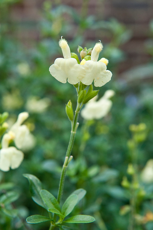 Salvia greggii 'Sungold', mid October.