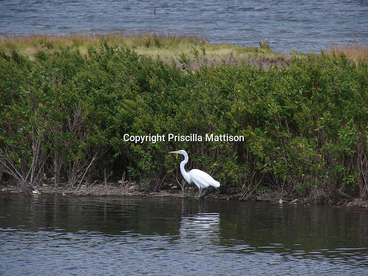 An egret wades at the New Jersey coast