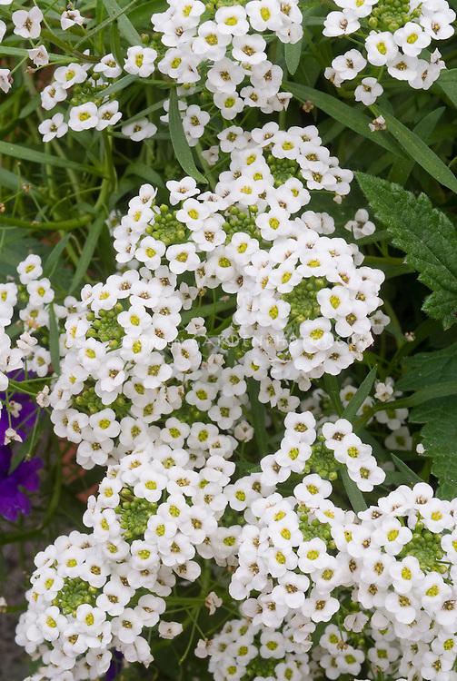 Lobularia 'Snow Princess' Sweet Alyssum in white flowers