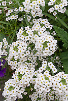 Lobularia 'Snow Princess' Sweet Alyssum in white flowers