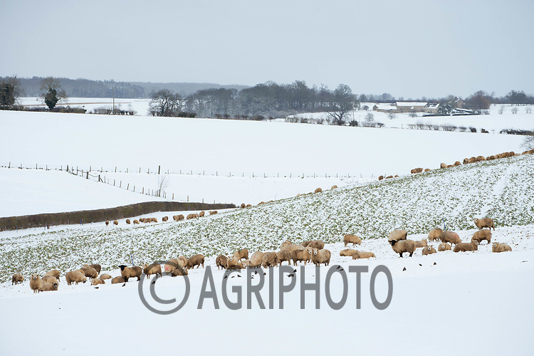 9-2-2021 Store lambs on fodder turnips covered in snow in Rutland<br /> ©Tim Scrivener Photographer 07850 303986<br />      ....Covering Agriculture In The UK....