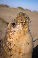 northern elephant seal, male, Mirounga angustirostris, San Simeon, central California, USA, Pacific Ocean