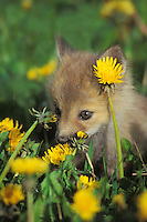 Red fox pup (Vulpes vulpes) in dandelions.