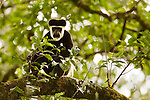 Mantled Colobus (Colobus guereza) in tree, Kibale National Park, western Uganda