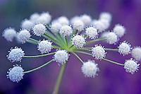 White flower (Carrot family). Lamoille Canyon, Ruby Mountains, Nevada