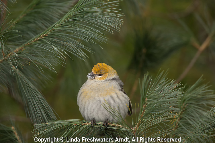 Female pine grosbeak with her feathers fluffed up to stay warm on a cold winter day in northern Wisconsin.