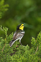 591850019 a wild federally endangered juvenile male golden-cheeked warbler setophaga chrysoparia - was dendroica chrysoparia - perches in a fir tree singing on balcones canyonlands national wildlife refuge travis county texas