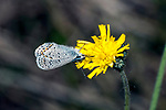 karner blue butterfly female drinking nector from yellow flower, concord, new hampshire