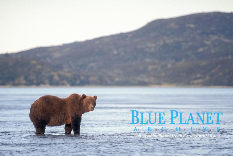 brown bear, Ursus arctos, grizzly bear, Ursus horribilis, with mountain range in background along east coast of Katmai National Park on the Alaskan peninsula