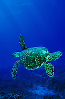 Green Sea turtles,also known as Honu's swim in all Hawaiian waters.