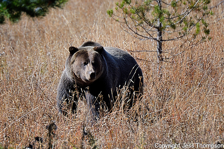 Grizzly Bear, Just north of Grand Teton National Park