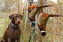 00975-015.04 Labrador Retriever: Chocolate Lab poses with two bagged rooster pheasants.  Hunt, retrieve, dog, prairie.