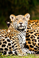 Jaguar (Panthera onca) cub watches a passing bird while sitting at its mother?s flank [captive]