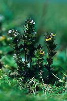Zwerg-Augentrost, Euphrasia minima