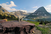 Mountain Goat (Oreamnos americanus).  Glacier National Park, Montana.  Summer.