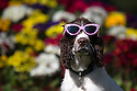 14/03/15<br /> <br /> A young springer spaniel chills out in the sunshine wearing sunglasses on the hottest day of the year in Ashbourne Park, Derbyshire.<br /> <br /> <br /> All Rights Reserved: F Stop Press Ltd. +44(0)1335 418629   www.fstoppress.com.