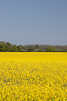 1.6-2021 Oilseed rape on the Lincolnshire Wolds<br /> ©Tim Scrivener Photographer 07850 303986<br />      ....Covering Agriculture In The UK....