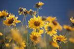 field of balsamroot flowers in montana