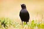 Brewer's Blackbird (Euphagus cyanocephalus) male, Santa Cruz, Monterey Bay, California