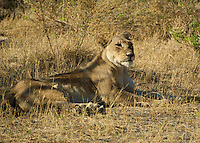 Lion resting mid day in the Okavago Delta.  Notice how well she blends into the background.  This photo was taken in Botswana Africa,