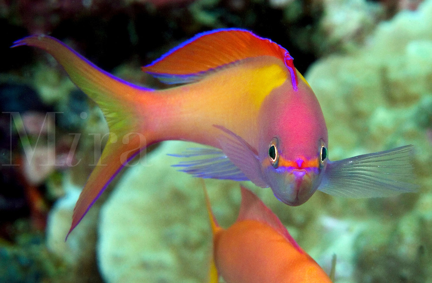 This male peach anthias, Pseudanthias dispar, is nearly four inches long and presides over a large aggregation of females.  Mabul Island, Malaysia.<br />