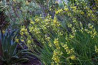 Bulbine frutescens (Stalked Bulbine) flowering succulent in Arlington Garden, Pasadena