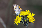 american copper butterfly drinking nector from yellow flower, side view, concord, new hampshire