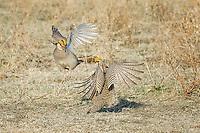 Lesser Prairie Chickens, Canadian Texas