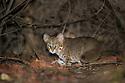 Rusty-spotted Cat (Prionailurus rubiginosus) at night. Buffer zone of Satpura Tiger Reserve, Madhya Pradesh, Central India. World's smallest wild cat.