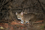 Rusty-spotted Cat (Prionailurus rubiginosus) at night. Buffer zone of Satpura Tiger Reserve, Madhya Pradesh, Central India. World's smallest wild cat.