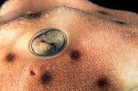 Horn shark eye, Heterodontus francisci, California, East Pacific Ocean