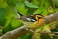 Male Blackburnian Warbler (Dendroica fusca)