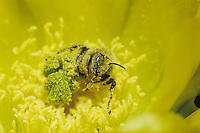 Leafcutter bee, mason bee (Megachilidae), adult with pollen from Texas Prickly Pear Cactus(Opuntia lindheimeri)Starr County, Rio Grande Valley, Texas, USA