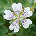 Geranium renardii 'Walter Ingwersen', mid May.