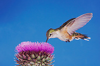 Broad-tailed Hummingbird, Selasphorus platycercus, female in flight feeding on Musk Thistle (Carduus nutans),Rocky Mountain National Park, Colorado, USA, June 2007
